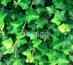 Hederacoside C Ivy extract Improve health of respiratory system