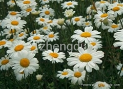 Pyrethrum powder and extract