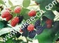 Plant Mulberry Extract Proanthocyanidins