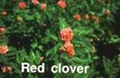 Red Clover P.E. - plant extract