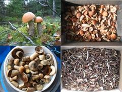 Mushroom Leccinum aurantiacum