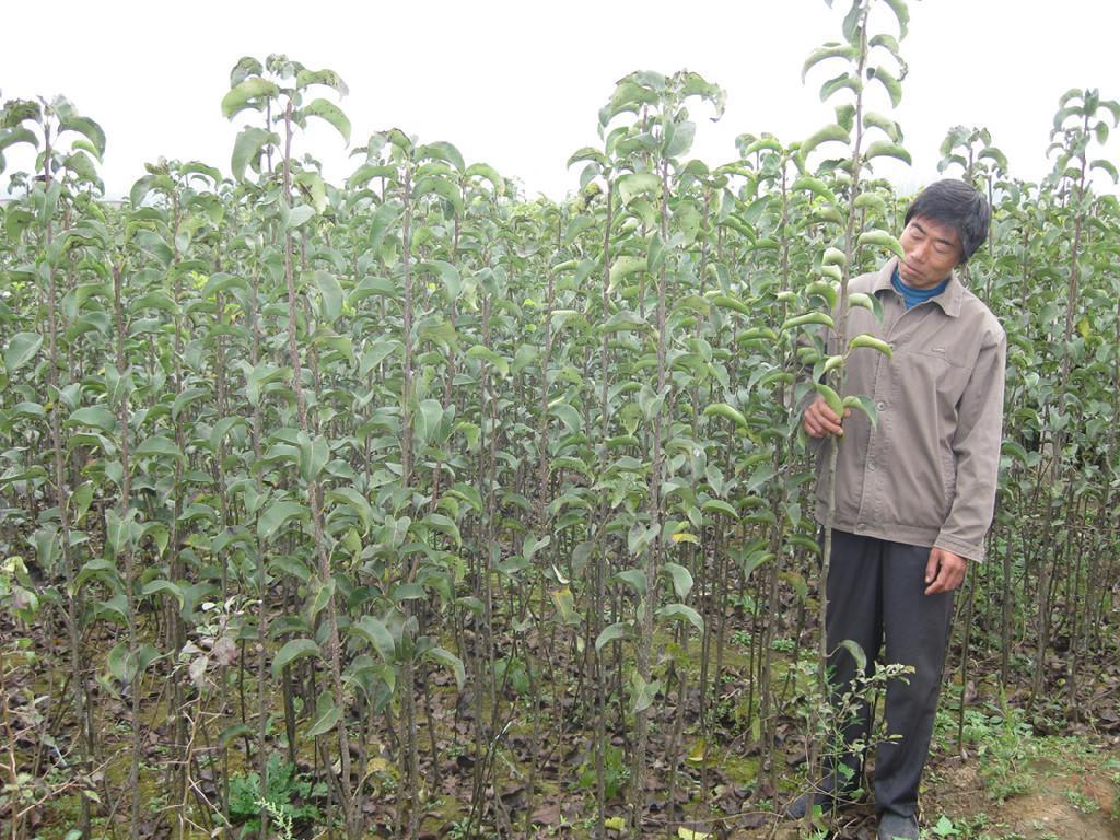 有20多年种子加工,苗木繁育,品种选育,果树栽培,果品购销的丰富经验.