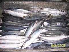 Frozen Pacific Mackerel (Scomber japonicus)