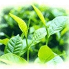 Green Tea Extract Polyph