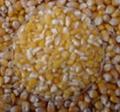 corn grain big pieces