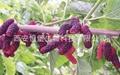 HBXIAN Blend of Fruits Polyphenol