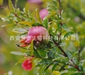 HBXIAN Pomegranate Extract