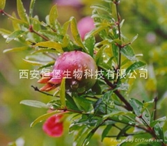 HBXIAN Pomegranate Extract Powder(Punicalagin)
