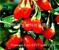 HBXIAN Lycium barbarum polysaccharide extract powder---Regulation of immune 1