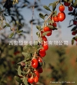 HBXIAN Goji berry polyphenols extract