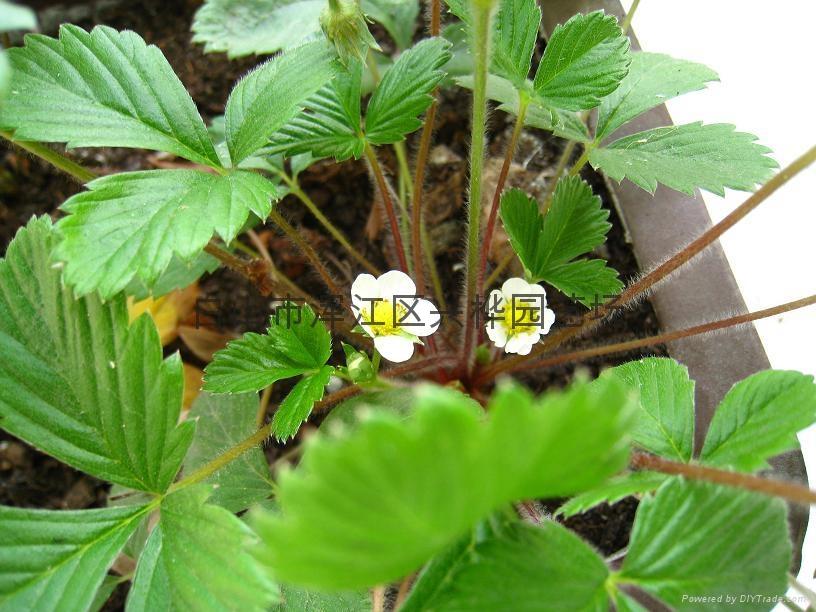 树莓图片_覆盆子图片_蔬菜瓜果类_植物图片_稀有高精图
