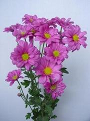 Fresh cut flower-Spray Chrysanthemum-Camel