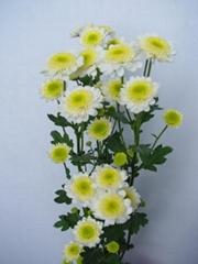 Fresh cut flower-Spray Chrysanthemum-