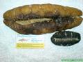 White Teat Sea cucumber