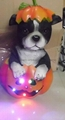 Resin dog in pumpkin with LED
