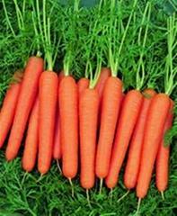 瑞宝七寸参杂交一代法国胡萝卜种子