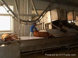 pig slaughterhouse line in