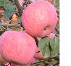 精品紅富士蘋果