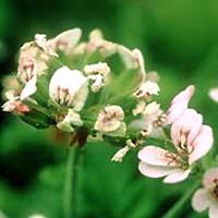 天竺葵精油