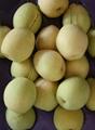 Shandong pear 1