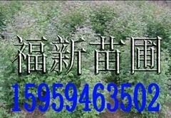 楓香苗,龍眼茶苗,小果油茶苗,良種油茶苗,高脂松苗,香樟苗