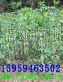 光皮桦,野鸦椿苗,野鸦椿种子,