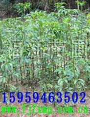 光皮樺,野鴉椿苗,野鴉椿種子,馬尾松種子,杉木種子,檫樹種子
