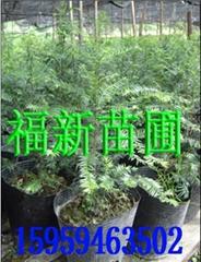 红豆杉盆景 曼地亚红豆杉苗 南方红豆杉 红豆杉种子 红豆杉苗