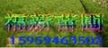 湿地松及湿地松种子 湿地松苗