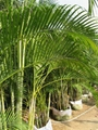 chry salidocarpus lutescens