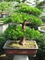 Podocarpus macrophyllus bonsai