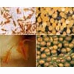 Artemia cyst