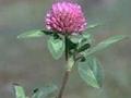 red clover p.e.