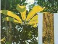 Magnolia Cortex P.E.