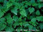 3,4-divanillyltetrahydrofuran  nettle root extract 95%