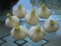 Fresh White Garlic in 2007 crop