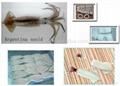 Argentina squid