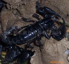 長年大量供應工藝品,寵物用雨林蠍(大黑蠍)