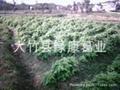 粉葛种苗 2