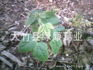 粉葛种苗 3