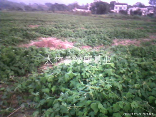 粉葛种苗 4