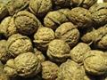 walnut in shell