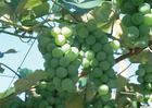 葡萄保鲜剂 1