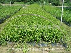 梅叶冬青Ilex asprella (Hook. et Ar