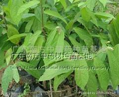布渣叶Microcos paniculata.