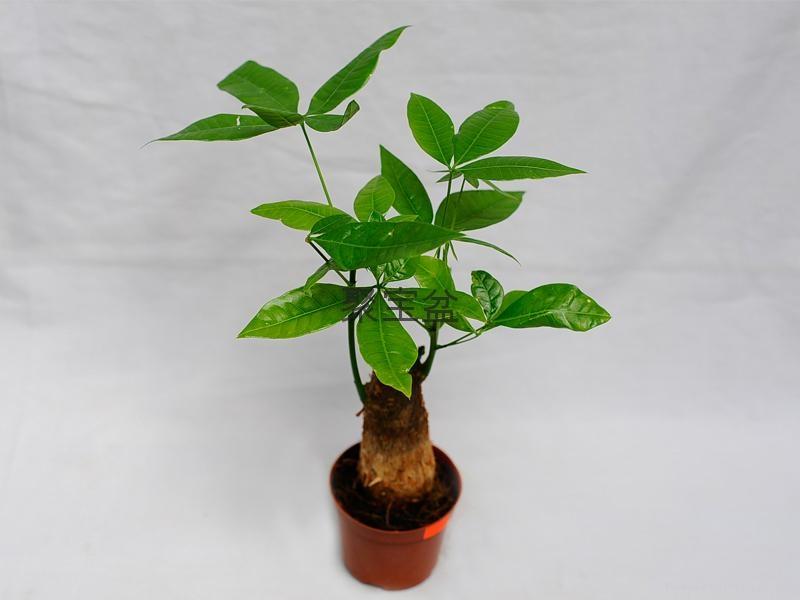 发财树 3