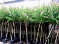 Lagerstroemia Indica ( decidous trees,