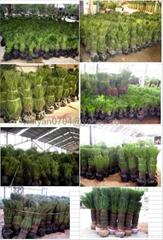 Cycas revoluta ( sago palm)