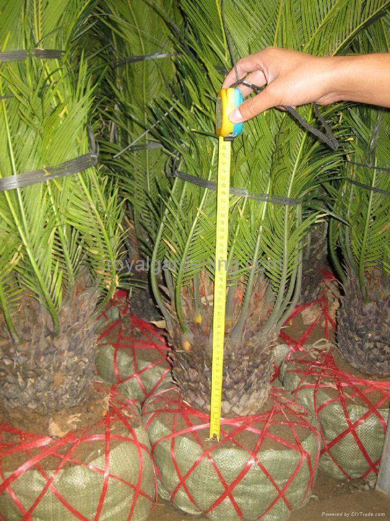 cycas revoluta sago palm royal gardening 12 china manufacturer flowers plant. Black Bedroom Furniture Sets. Home Design Ideas