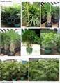 Rhapis palms